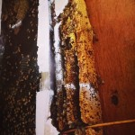 bees-in-house-helena-3