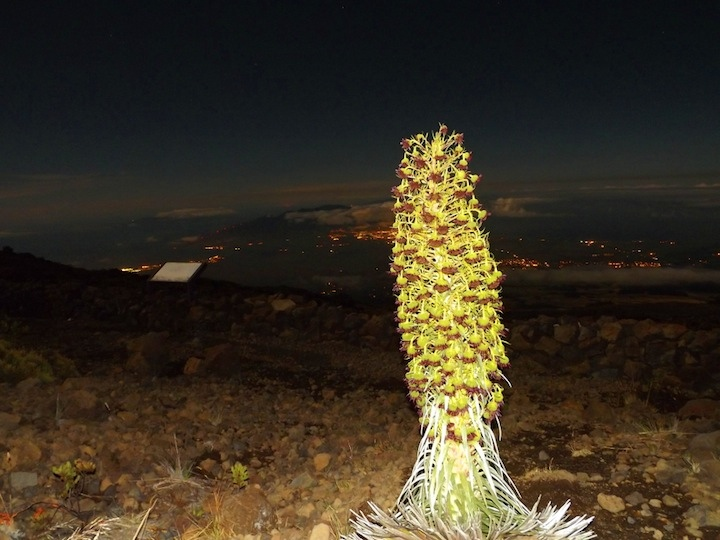 PC: Asa Ellison / Maui - morning of August 10 - Silverswords by supermoon light